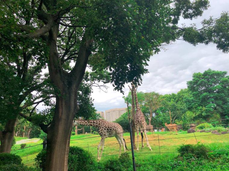 天王寺動物園 キリン